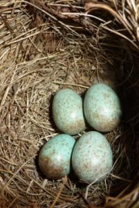 Amsel - Eier