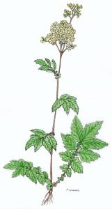 Filipendula kol.(1)