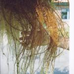 Wurzeln Carex